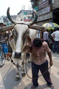 Cow_man