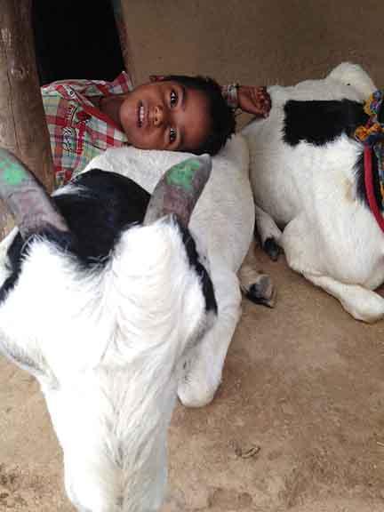boy_goats